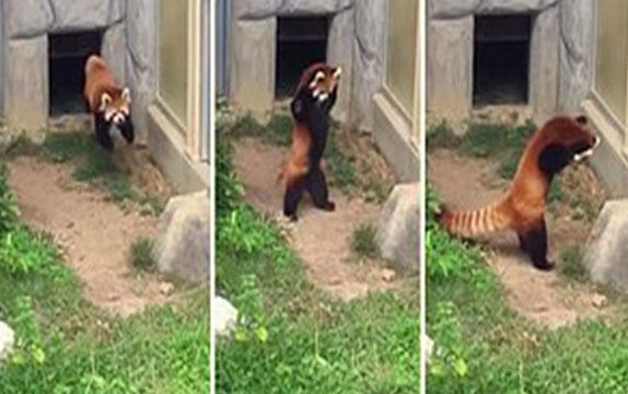 Kızıl pandanın sevimli şaşkınlığı!