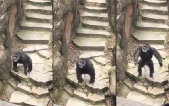 Yaşlı kadının burnuna dışkısını atan şempanze