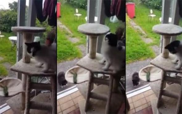 Salatalık görünce aklını kaçıran kedi