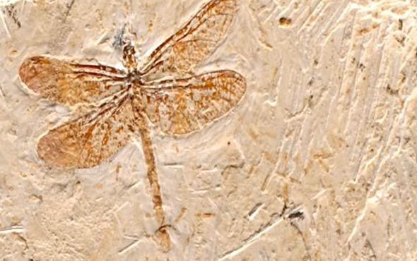 Çin'de dev yusufçuk fosili keşfedildi