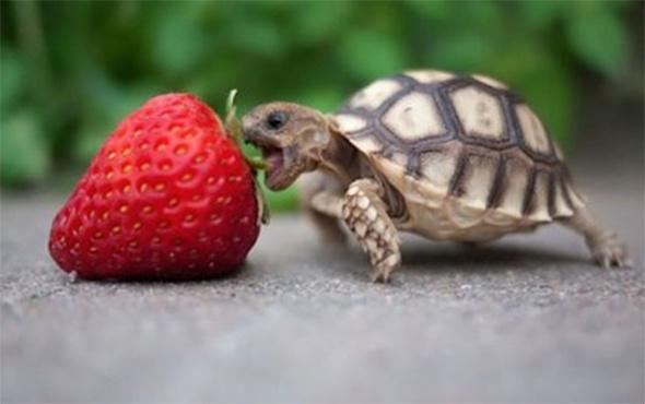 Çilek yemeyi beceremeyen kaplumbağa