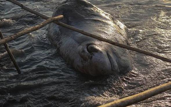 12 metrelik ölü balina karaya vurdu