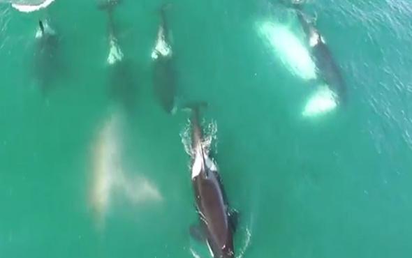 Balina yiyen katil balinalar