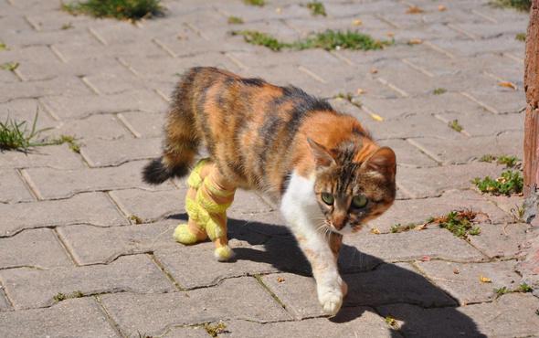 Bacakları kopan hamile kediye protez
