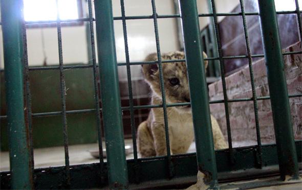 Cizre'de durdurulan araçta bulunan yavru aslana özel bakım