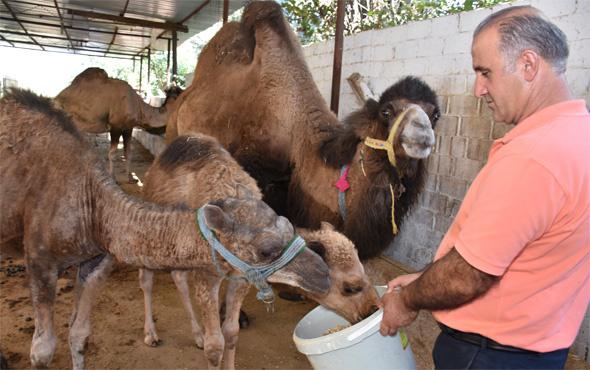 Kurbanlık develer büyük ilgi görüyor