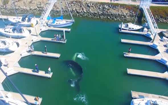 Yolunu kaybeden balina yat parkına giriyor