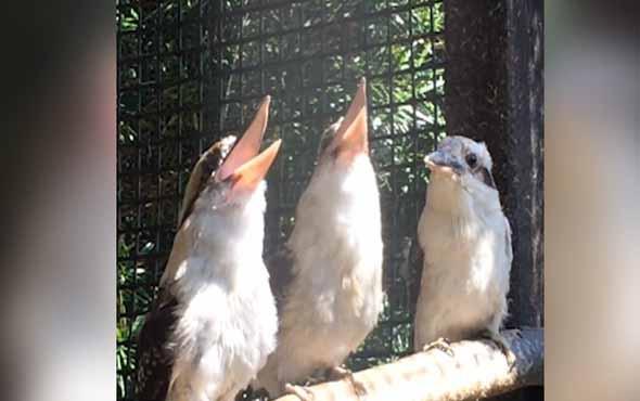 Arkadaşlarının yaptığı espriyi anlamayan minik kuş