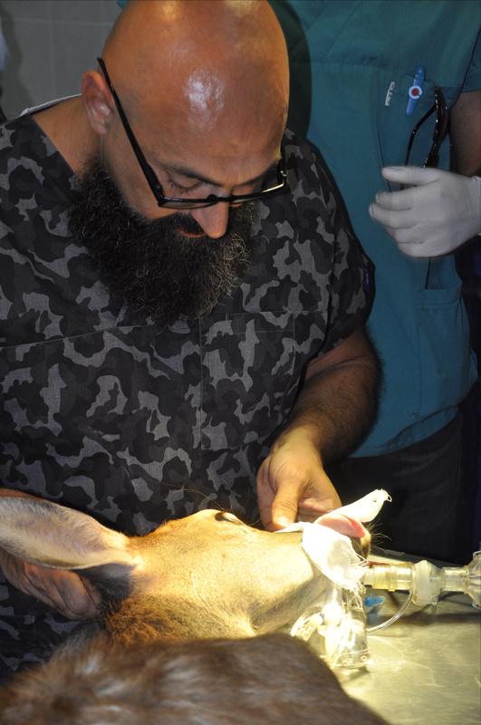 Afyon Kocatepe Üniversitesi'nden bir ilk 'Geyik yavrusuna katarakt ameliyatı'