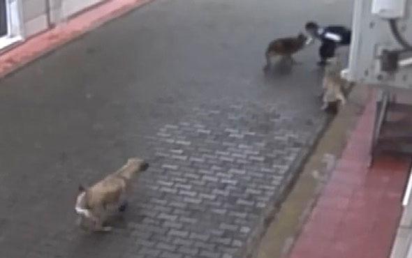 Aç kalan köpekler ilkokul öğrencisine böyle saldırdı! İşte dehşet anları...
