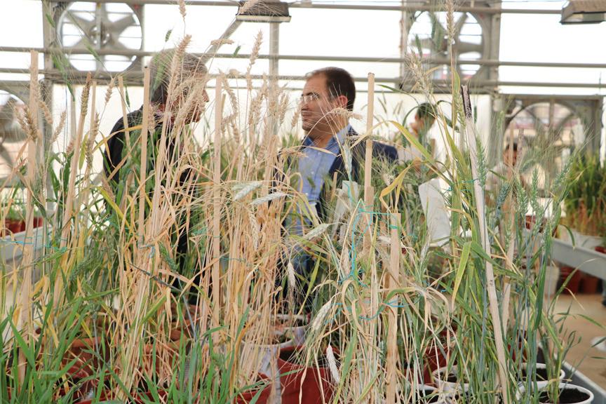 Üniversitede yeni bir buğday çeşidi geliştirildi kuraklığa dayanıyor