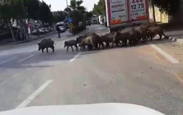 Bodrum'da aç kalan domuzlar şehre indi