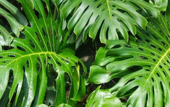 Deve Tabanı bitkisinin özellikleri nelerdir?