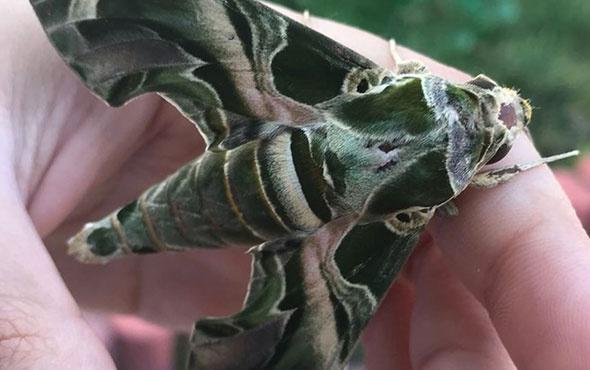 Kamuflaj desenli mekik kelebeği herkesi şaşırttı