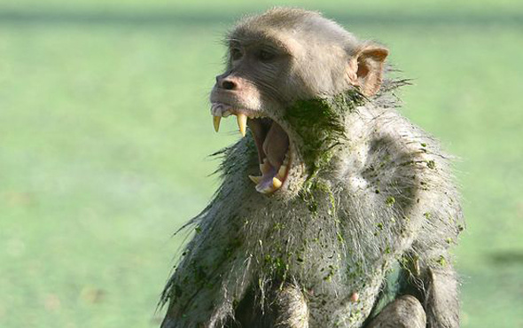 Maymun dehşeti! 12 günlük bebeği annesinin kucağından alıp...