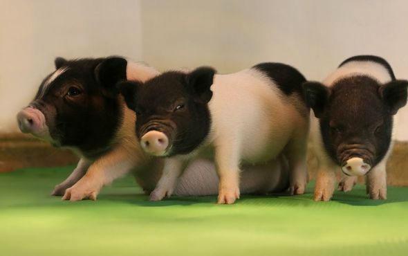 Genetiği değiştirilmiş domuzlar organ nakli için kullanılacak