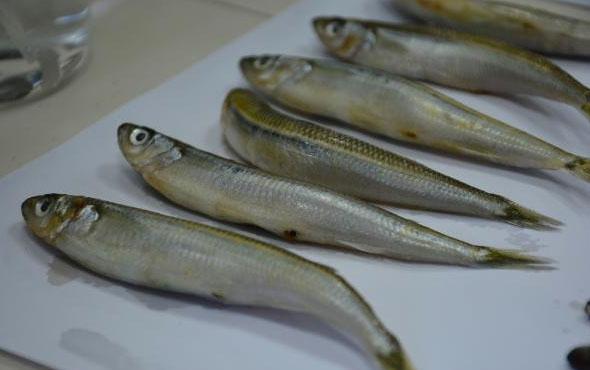 Karadeniz'de hastalık saçan 2 balık türü bulundu