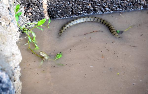 Herkes korku içinde baraj kapakları koptu yılanlar ortalığa dağıldı
