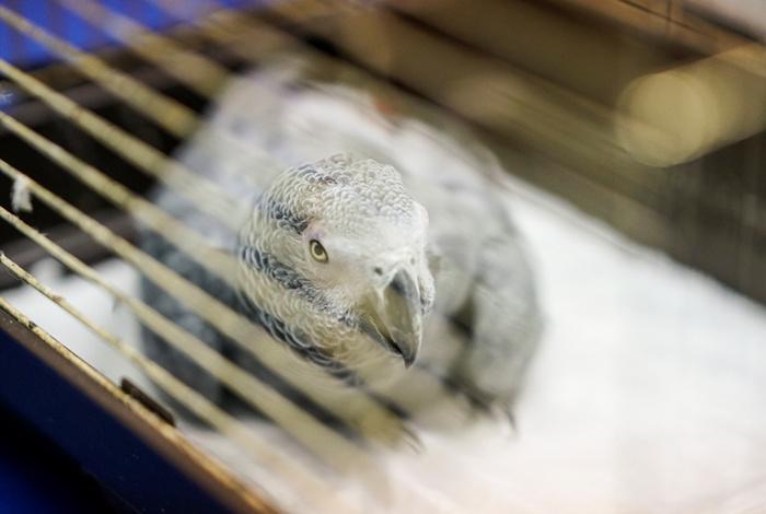 Murat Özdemir'in işkence ettiği gri papağan kuşların Einstein'ı çıktı