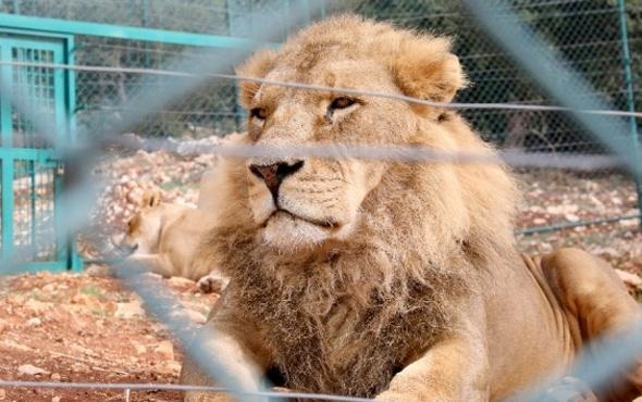 Kafesinden kaçan aslan dehşet saçtı