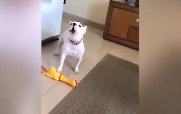 Oyuncak tavukla şarkı söyleyen köpek