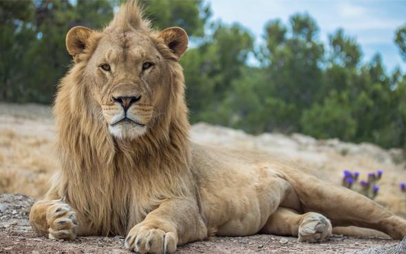 Aslan avlamaya gitti geriye kafası kaldı!