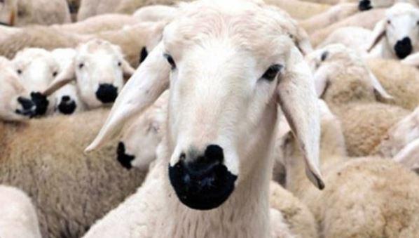 300 koyun başvurusu ücretli mi Ziraat Bankası sözleşme