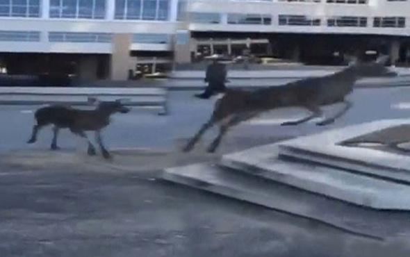 Yanlışlıkla şehir merkezine inen geyik nehre atladı