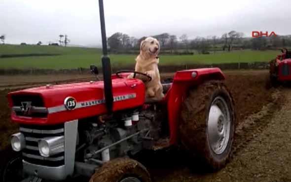 Köpek Rambo sahibine tarlada traktör sürerek yardım ediyor
