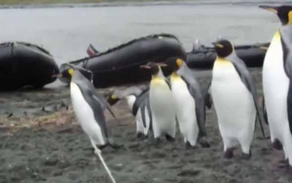 Halatın üstünden geçmeye çalışan penguenler izleyenlere kahkaha attırdı
