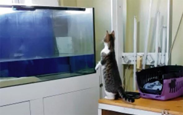 Sineği yakalamak isterken akvaryuma uçan kedi