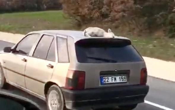 Aracın tavanındaki kuzu şaşırttı