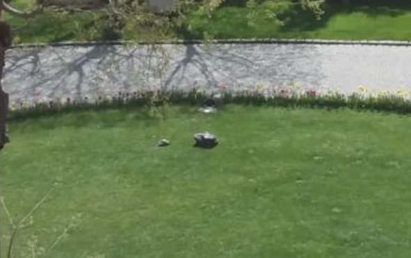 Çim biçme makinesine aşık olup her gün peşinden koşan kaplumbağa