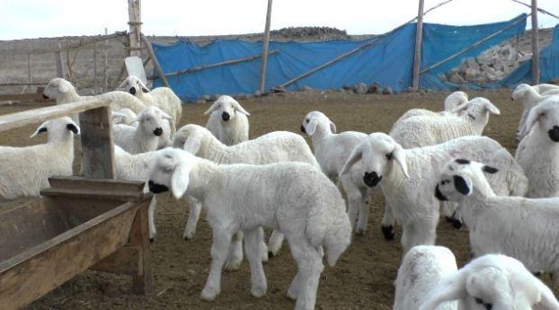 300 koyun başvurusu ön değerlendirme sonuçları açıklandı!