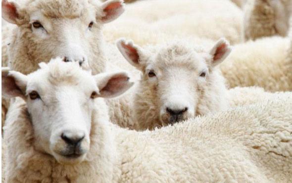 300 koyun başvuru sonucu sayfası TİGEM isim sorgulama-2018