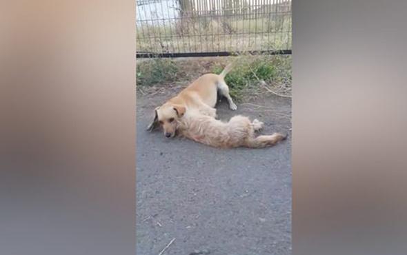Arkadaşına araba çarpan köpeğin duygulandıran görüntüsü