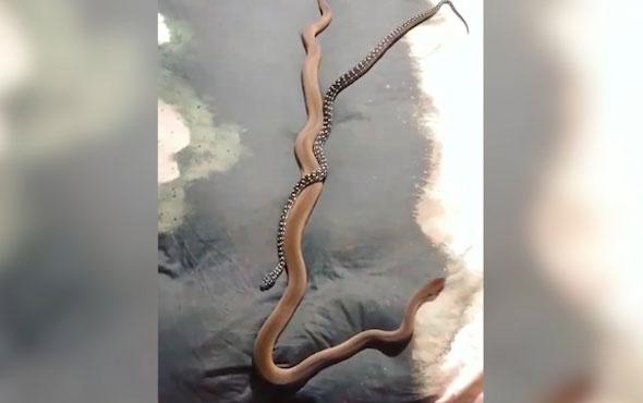 İki farklı yılanın ilginç dostluğu!