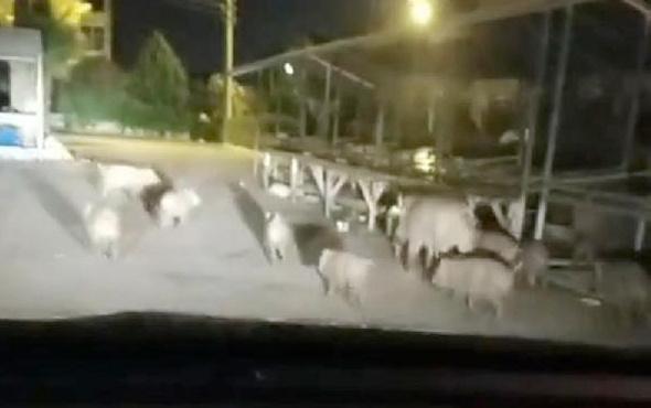 Marmaris'te domuz sürüsü pazara indi