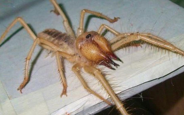Sarıkız böceği nedir zehirli mi kimlerin etini yer Bodrum'da panik!
