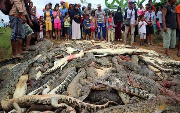 Endonezya'da katliam! 292 timsah öldürüldü