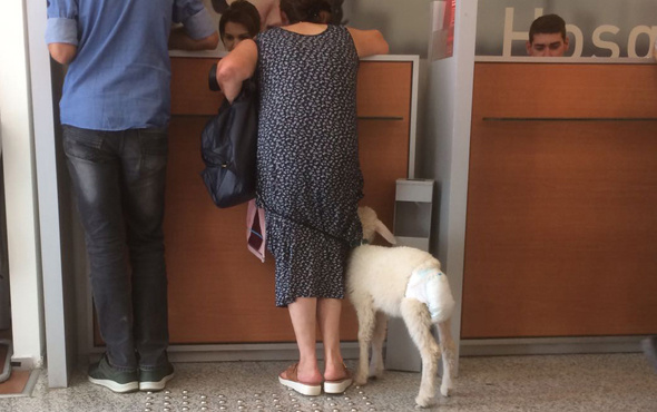 Bankaya altı çocuk beziyle bağlı kuzu ile geldi