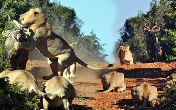 Aslan antilobu tam ham yapacakken neye uğradığını şaşırdı!