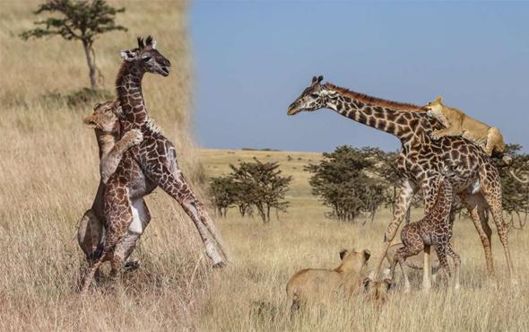 Anne zürafa ve yavrusu aslan sürüsünün ortasında kaldı sonrası korkunç!