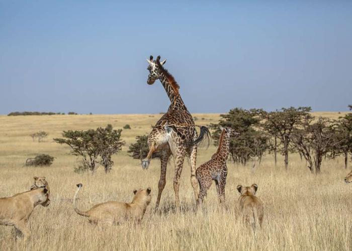 Anne zürafa ve yavrusu aslan sürüsünün ortasında kaldı sonrası korkunç! - Sayfa 1