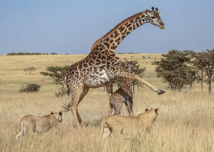 Anne zürafa ve yavrusu aslan sürüsünün ortasında kaldı sonrası korkunç! - Sayfa 2
