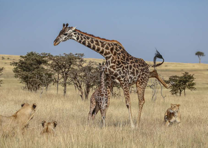 Anne zürafa ve yavrusu aslan sürüsünün ortasında kaldı sonrası korkunç! - Sayfa 3