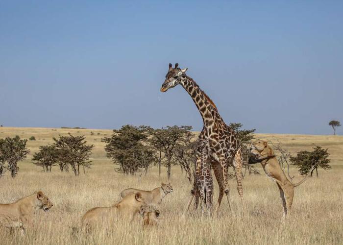 Anne zürafa ve yavrusu aslan sürüsünün ortasında kaldı sonrası korkunç! - Sayfa 4