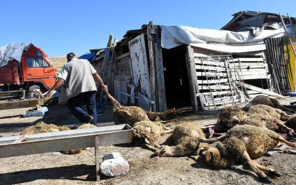 Sokak köpekleri ahırdaki 25 küçükbaşı telef etti