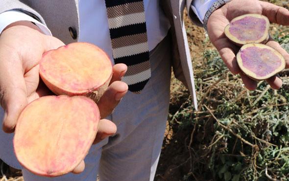 Türkiye'de ilk 'yerli ve milli' renkli patates üretildi!