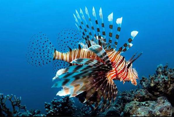 Ege ve Akdeniz'de aslan balığı istilası 'Canlıları yok ediyor'